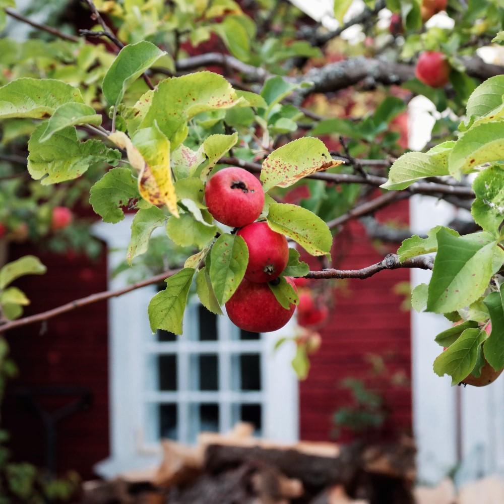TRÄDGÅRDSARKITEKTEN KARIN JANRIK äpple